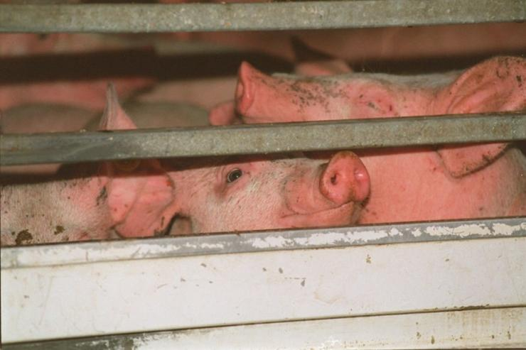 Kontrol af rengøring i lastbiler skal stoppe svinepest