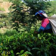 Arbejdere i te-plantagerne går mange kilometer op ad stejle skråninger med sække med te-blade